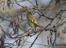 Goldcrest royalty free stock photo