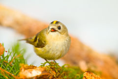 Goldcrest on a white background on a branch Royalty Free Stock Photos
