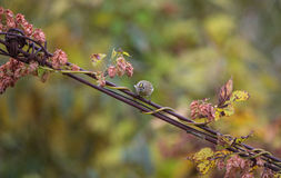 Goldcrest on wire with flowers Royalty Free Stock Images