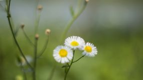 Flowers. The goldden wave Royalty Free Stock Images