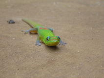 Golddust Day Gecko. A Golddust Day Gecko on the ground Royalty Free Stock Images