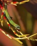 Golddust Gecko stockbilder