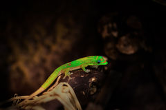 Phelsuma Laticauda laticauda. Golddust gecko (phelsuma laticauda ) on a piece of wood Stock Photography
