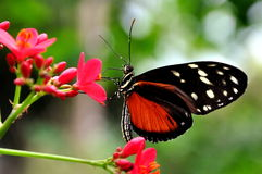 Golde Helicon Butterfly,Heliconius Hecale Royalty Free Stock Photography
