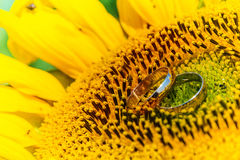 Goldeheringe auf einer Sonnenblume Stockbild