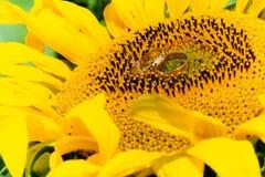 Goldeheringe auf einer Sonnenblume Stockfotos