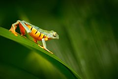 Golden-äugiger Blattfrosch, Cruziohyla-calcarifer, grüner gelber Frosch, der auf den Blättern im Naturlebensraum in Corcovado, Co stockfotografie