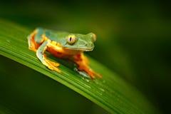 Golden-äugiger Blattfrosch, Cruziohyla-calcarifer, grüner gelber Frosch, der auf den Blättern im Naturlebensraum in Corcovado, Co lizenzfreie stockfotografie