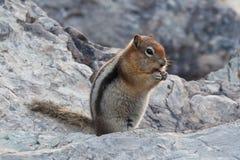 Golden-überzogenes Grundeichhörnchen Lizenzfreies Stockbild