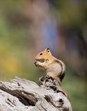 Golden-Überzogenes Grundeichhörnchen Stockbilder
