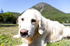 Golden. Retriever resting outside at day time Royalty Free Stock Images