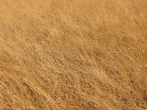 Golden. A beautiful background of golden grass in the dry summers of India Stock Photos