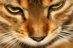 Golden. Close up of the face of a bengali special breed kitten stock photos