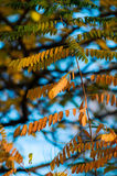 Golden acacia leaves in autumn Royalty Free Stock Photography