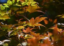 Golden Acer tree leaves in Autumn / Fall royalty free stock photos