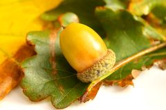 Golden Acorn. Acorn against a background of green leaves royalty free stock photo