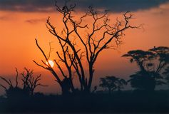 Golden African sunset. Beautiful sunset in Africa, with silhouettes of trees in foreground, silhouette Stock Photography
