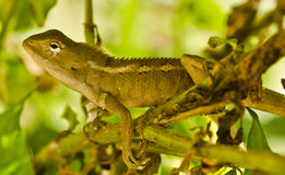 A golden agama in bushes Stock Photography