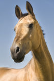 Golden Akhal-teke horse. A rare thoroughbred horse, one of the most ancient breed, originating in Turkmenistan and famous for the metallic shimmer in the coat stock images