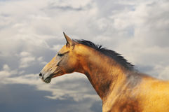 Golden akhal-teke horse. The golden akhal-teke horse with stormy skies behind Stock Photography