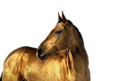 Golden akhal teke horse royalty free stock photos
