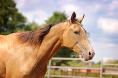 Golden akhal-teke horse poratrait. In freedom royalty free stock photos