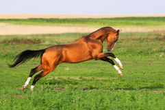 Golden akhal-teke horse runs gallop. On the meadow Stock Photography