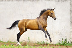 Golden akhal-teke stallion. In movement Stock Photography