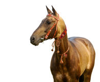 Golden akhal-teke stallion. Isolated on white Royalty Free Stock Images