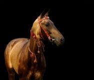 Golden akhal-teke stallion. Isolated on black Royalty Free Stock Images