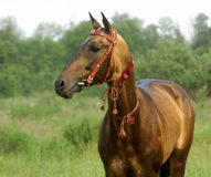 Golden akhal-teke stallion Stock Image