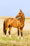Golden akhal-teke stallion portrait in summer Stock Images