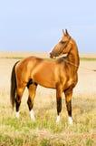 Golden akhal-teke stallion portrait in summer stock images