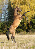 Golden akhal-teke stallion rears Stock Photography