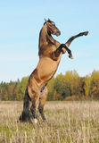 Golden akhal-teke stallion rears. Beautiful thoroughbred stallion in the field in the autumn Stock Photography