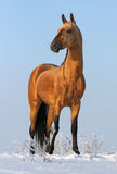 Golden akhalteke stallion Stock Photo