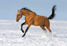 Golden akhalteke stallion running. In the winter field with white snow and blue sky on the background Royalty Free Stock Images