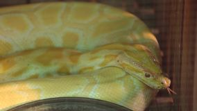 Golden albino python stock video footage