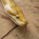 Golden Albino Python Sticking Tongue Royalty Free Stock Photo