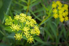 Golden Alexander - Yellow Wildflowers. Golden Alexander, a beautiful yellow wildflower also resembling the poisonous wild parsnip, growing in Illinois stock image