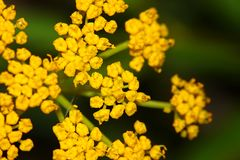 Golden Alexanders Zizia aurea Royalty Free Stock Photography