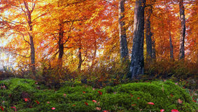 Golden alpine forests Stock Image