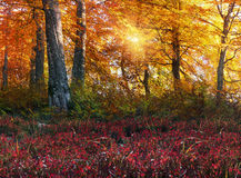 Golden alpine forests Stock Images
