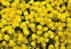 Golden alyssum Aurinia saxatilis Stock Photography