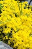 Golden alyssum Stock Photo