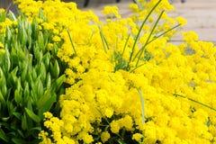 Golden alyssum Royalty Free Stock Photos