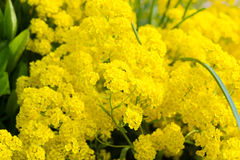 Golden alyssum. Yellow flowers of golden alyssum Stock Photography