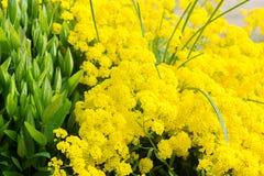 Golden alyssum Royalty Free Stock Images