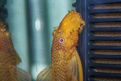 Golden ancitrus fish Royalty Free Stock Images