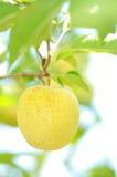 Golden apple Royalty Free Stock Photo